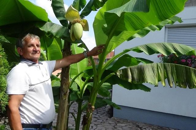 U Sanskom Mostu rodile banane
